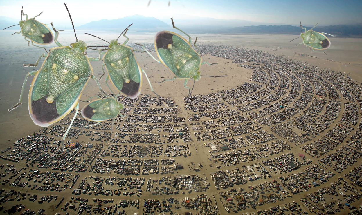 insect infestation at Burning Man 2015